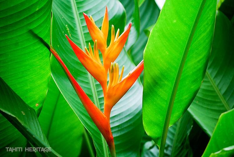 Bec de perroquet, Heliconia psittacorum